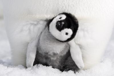 皇帝ペンギン ただいま メインイメージ